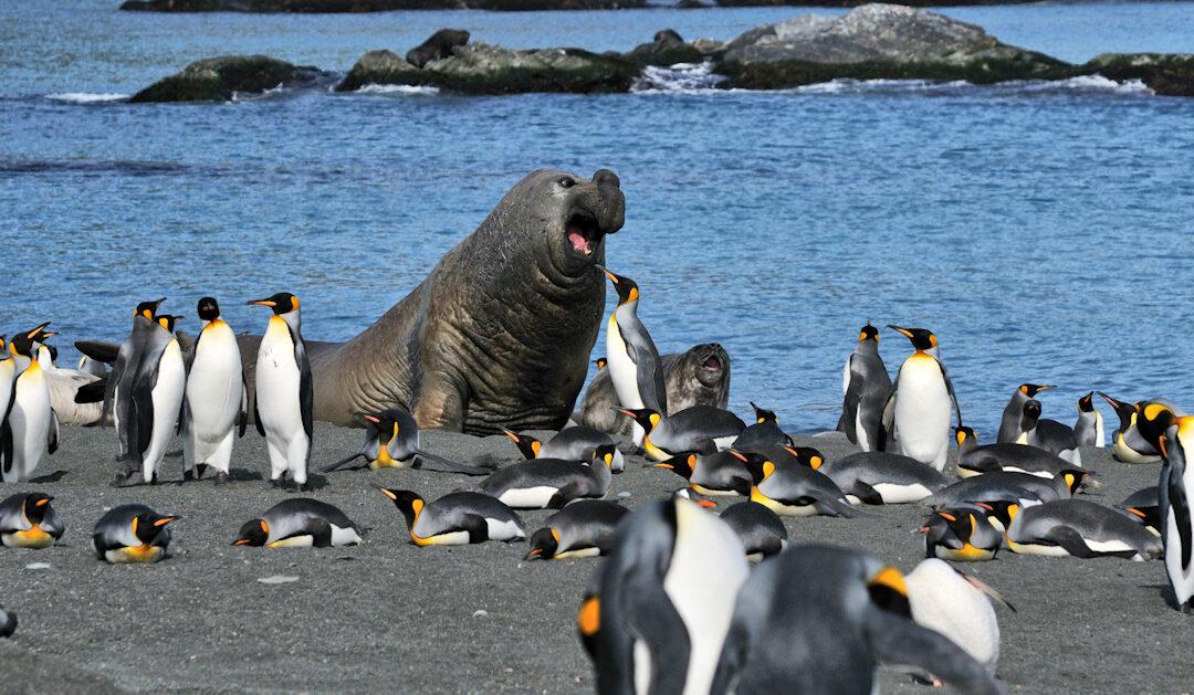 Pinguine und See-Elefanten düngen die antarktische Landschaft