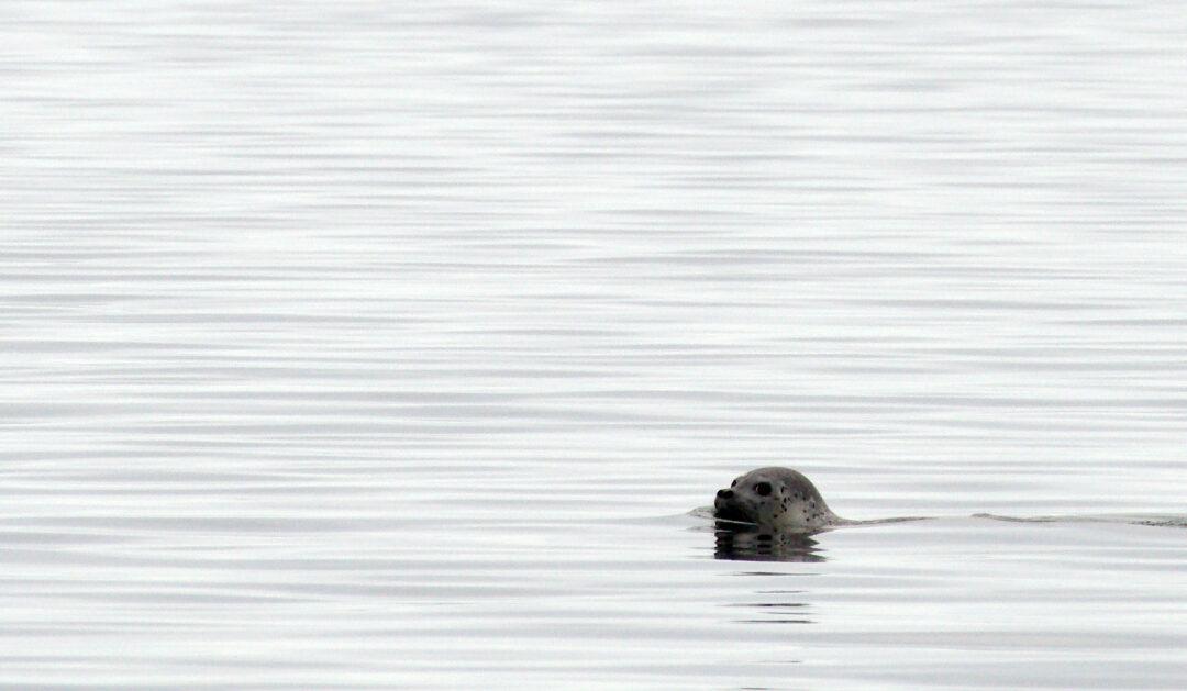 Verstärktes Robbensterben in der Beringstrasse wird untersucht