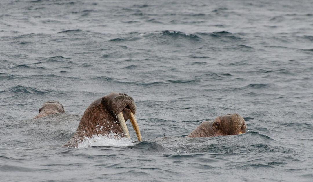 Elfenbeinschnitzer in Alaska plädieren für Lockerung bei Walrosselfenbein