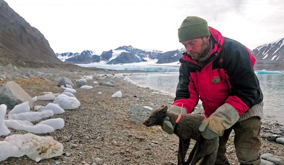Polarfuchs rennt von Svalbard nach Kanada in vier Monaten