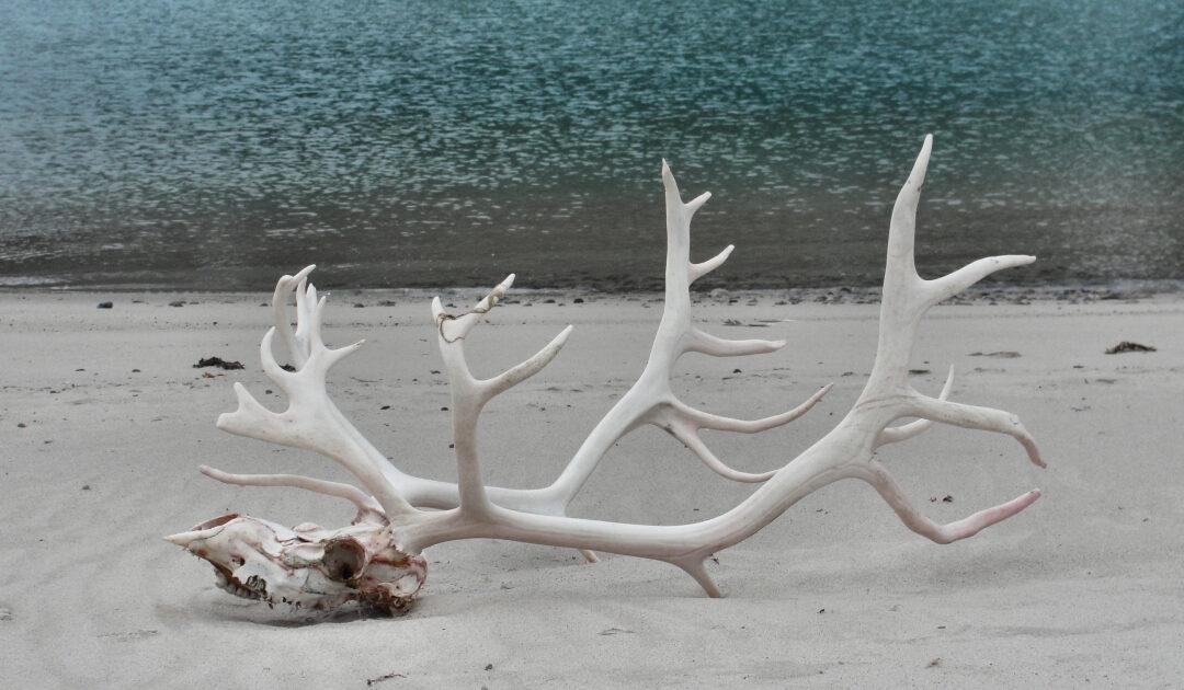 Mehr tote Rentiere dieses Jahr auf Svalbard