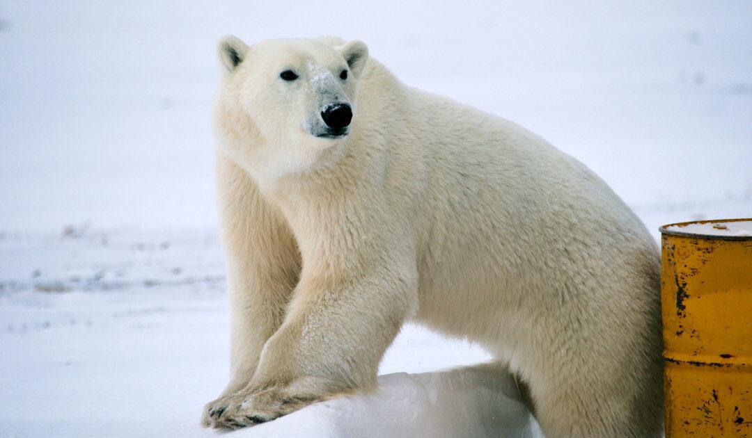 Eisbär vertreibt Gruppe aus Camp auf Svalbard