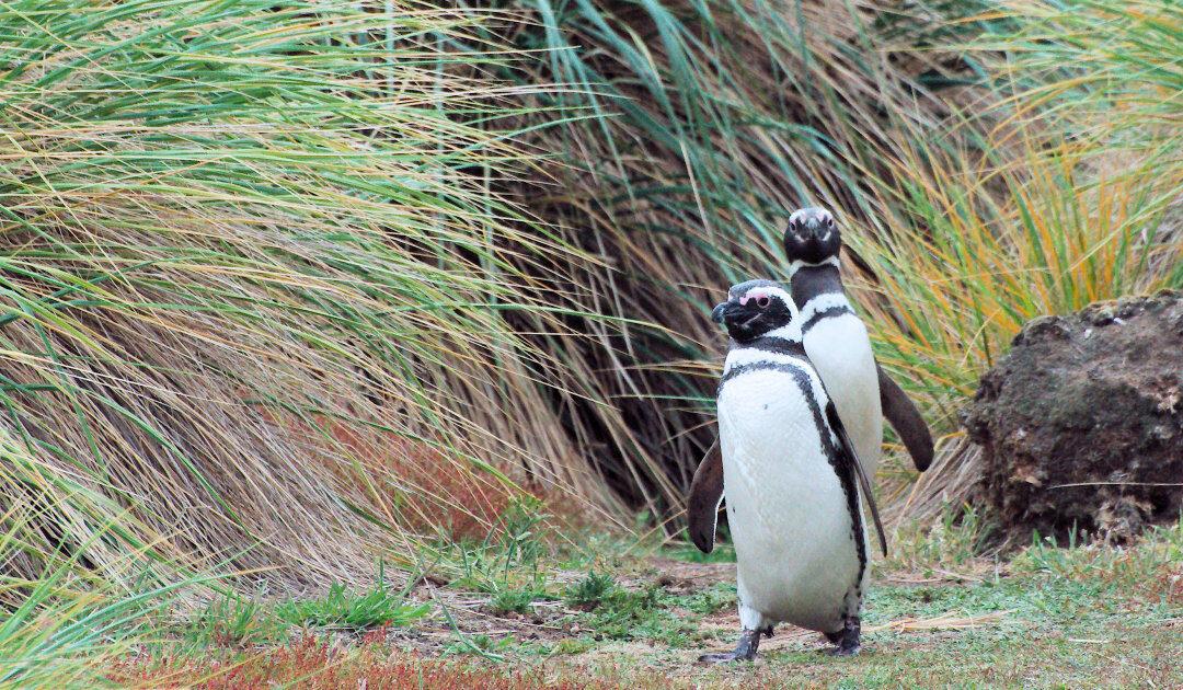 Neues Fossil eines Riesenpinguins in Neuseeland gefunden