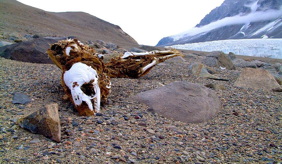 Mumifizierte Robben in der Antarktis