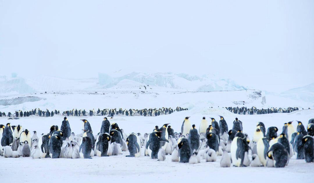 Kaiserpinguine leiden unter Lebensraumverlust in der Antarktis