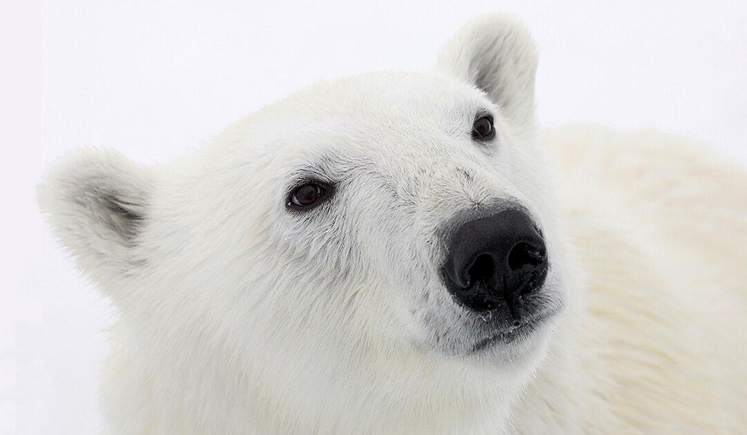 Chemikalien-Cocktail im Blut der Eisbären