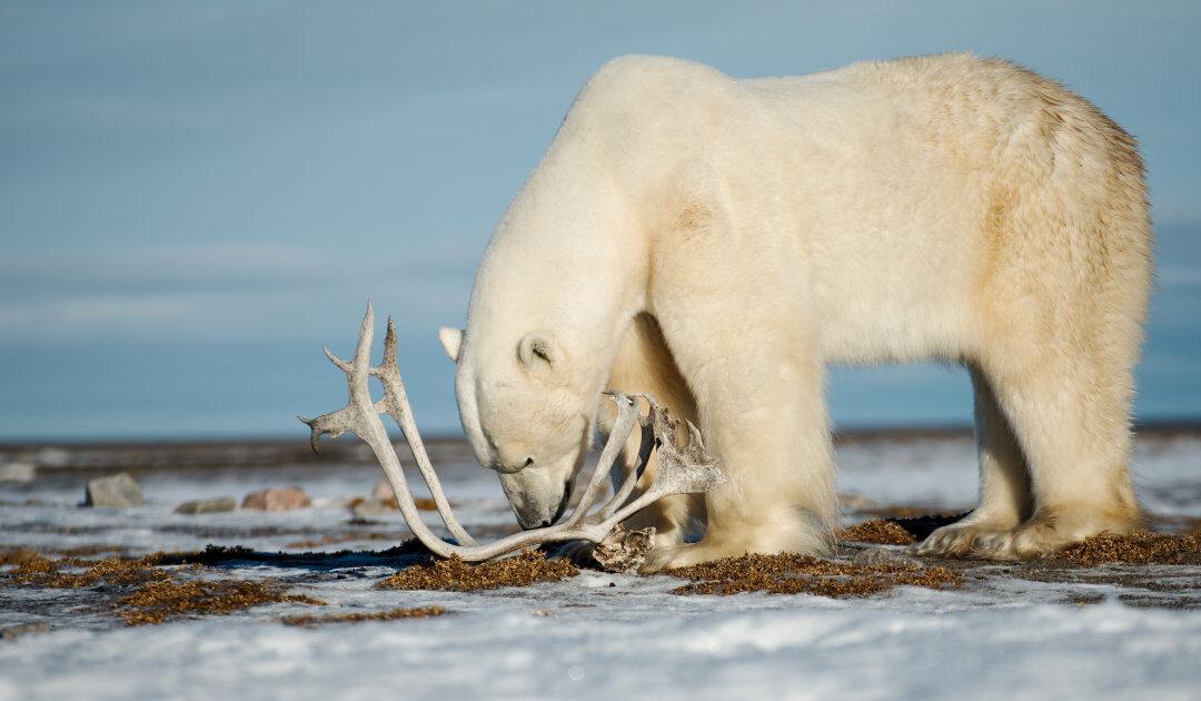 Kanadischer Jäger verurteilt wegen illegalem Töten eines Eisbären