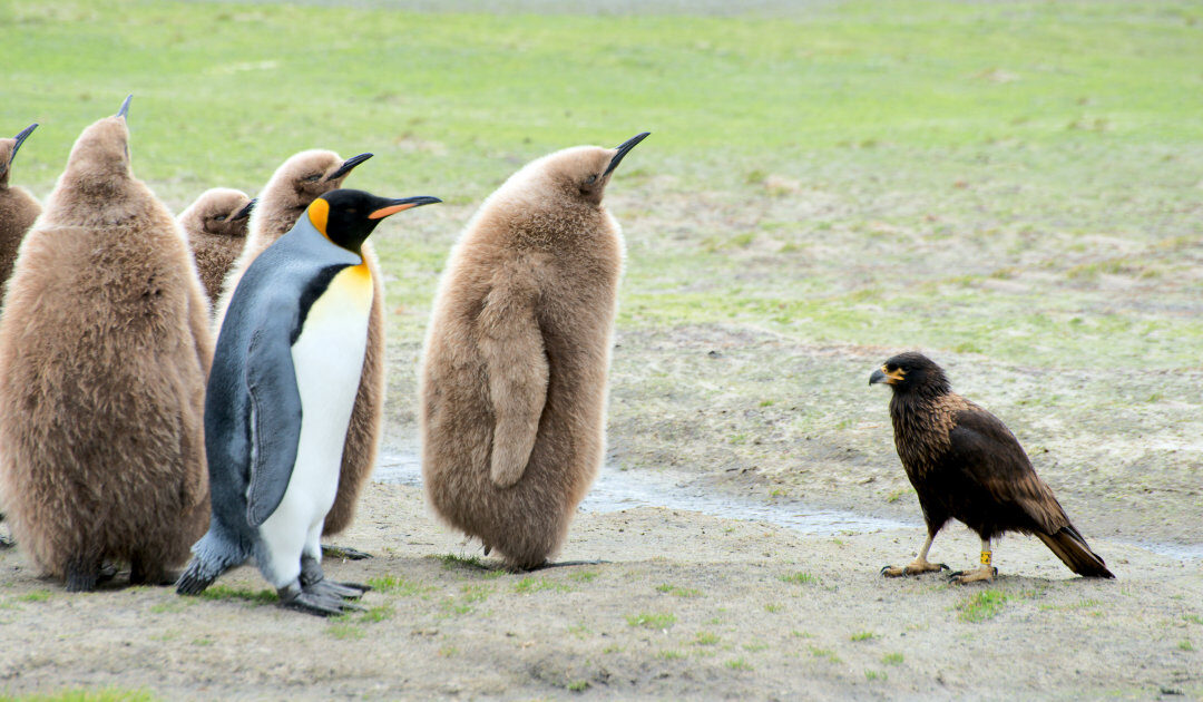 Naturschutzprojekte der Falklandinseln stehen auf der Kippe nach dem Brexit