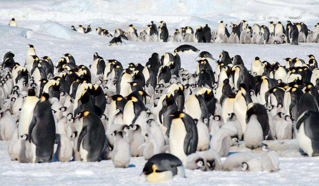 Ursprung der Pinguine nicht in der Antarktis