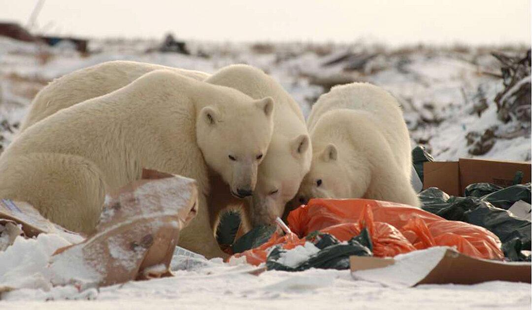 Wissenschaft alarmiert über den Plastikkonsum von Eisbären