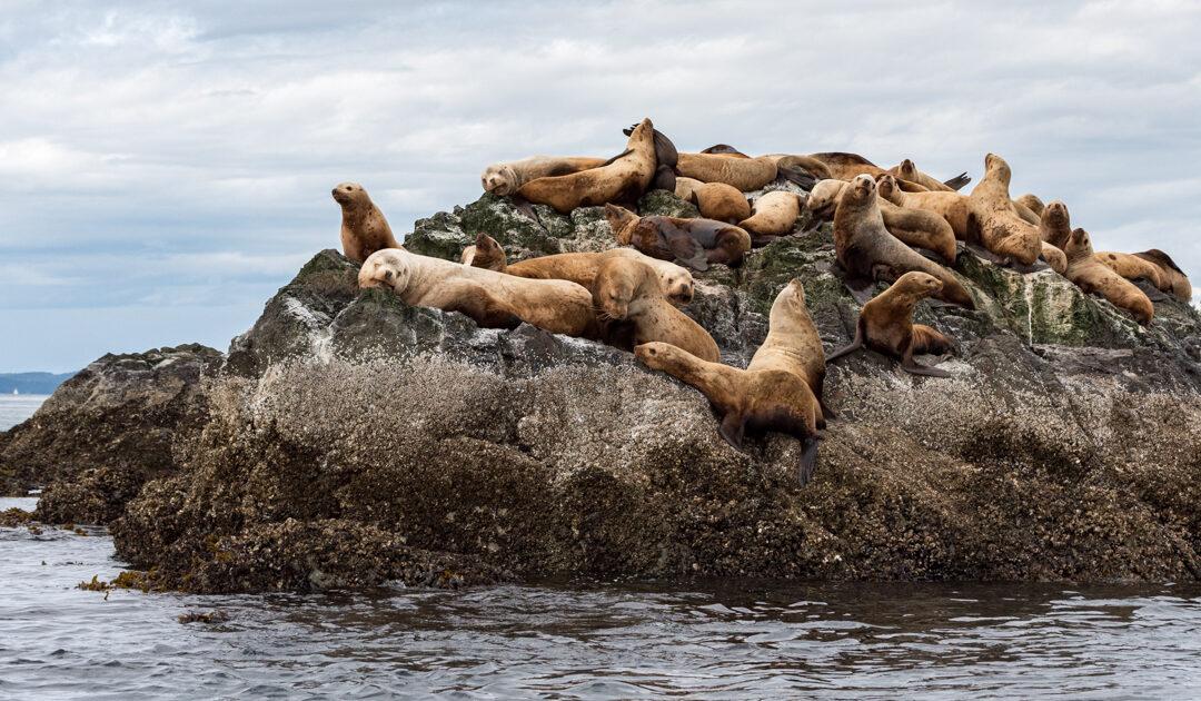 Klimawandel begünstigt Ausbreitung der Seehundstaupe