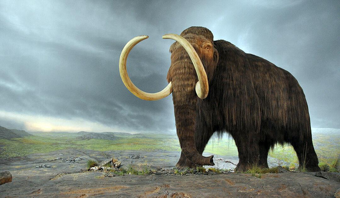 Warum die letzten Mammuts plötzlich starben