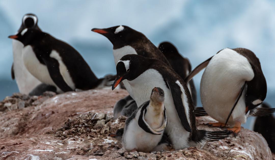 Gewinner und Verlierer unter Pinguinen und die Rolle des Klimawandels