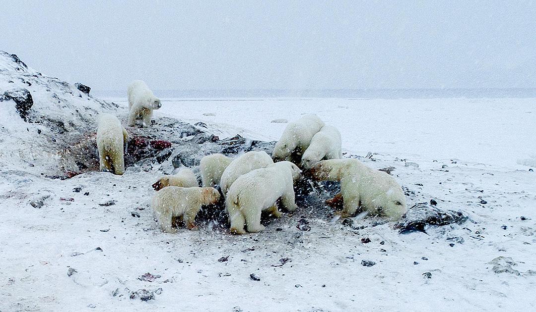 Eisbären belagern russisches Dorf