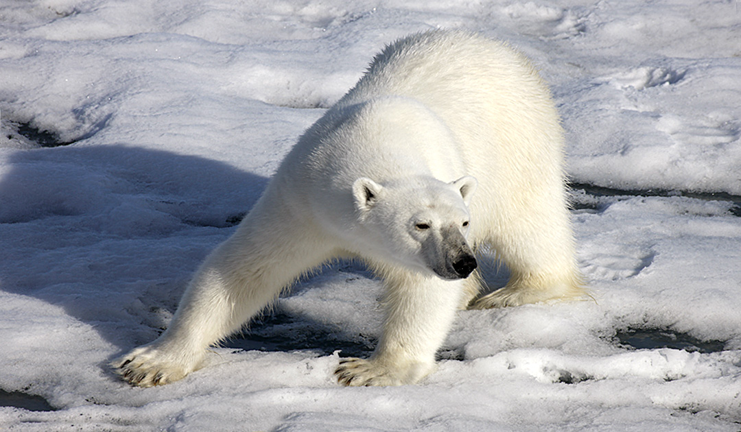 "Are ""Pizzlies"" and ""Grolars"" the better polar bears?"