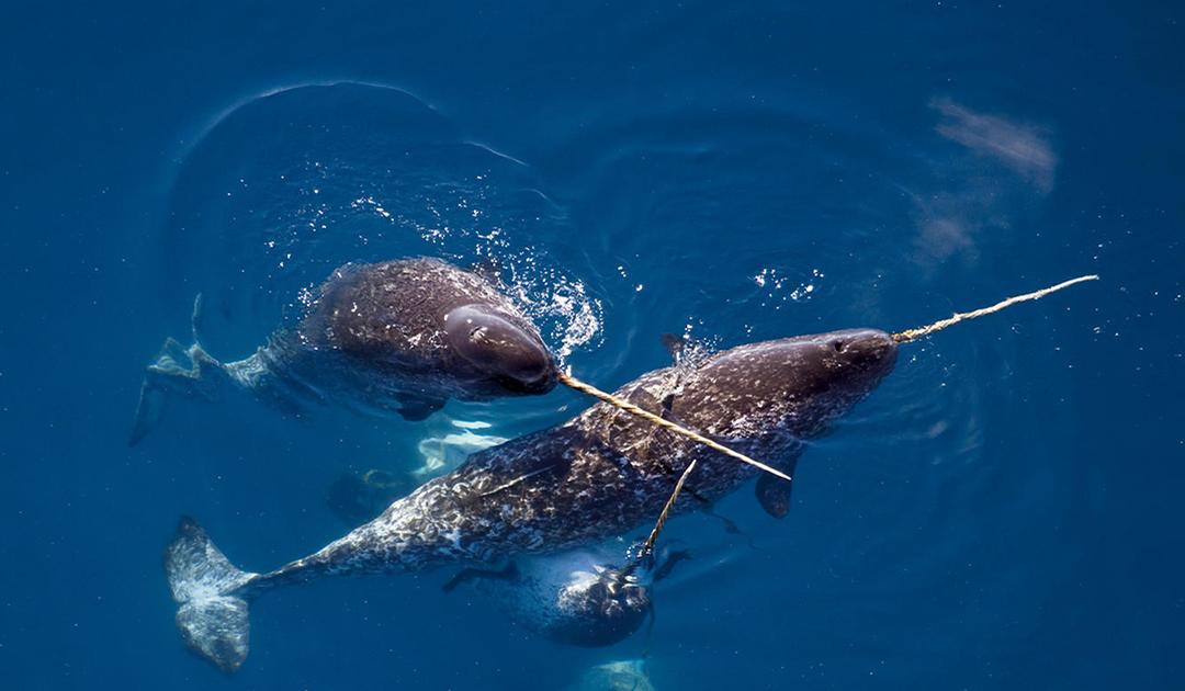Wissenschaftler fordern Jagdverbot auf Narwale in Ostgrönland