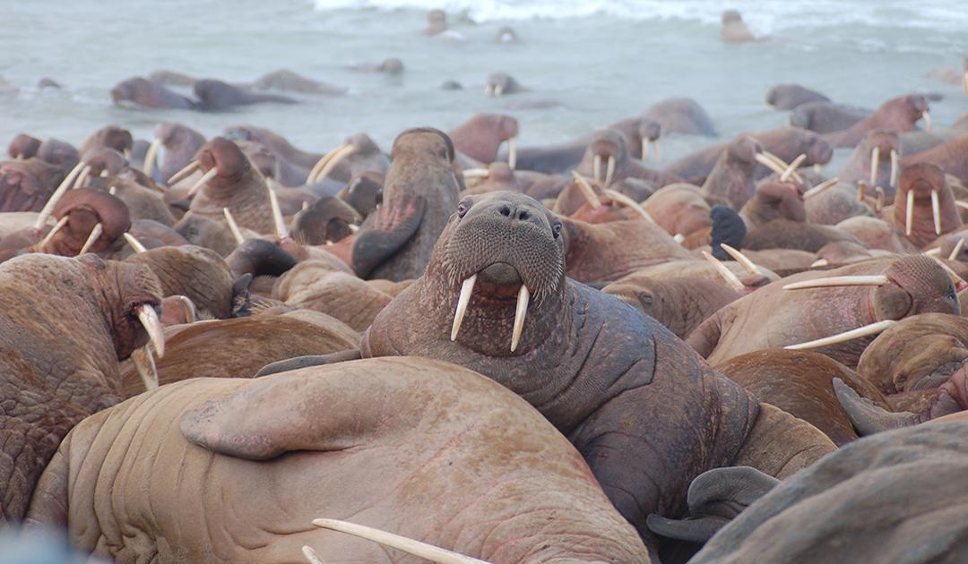 Lauschangriff auf arktische Meeressäuger