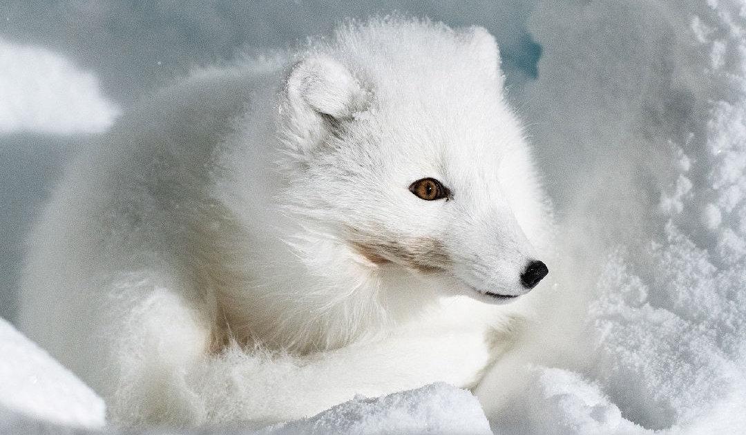 Hungriger Fuchs, Schnee schaufeln und Dauerüberwachung