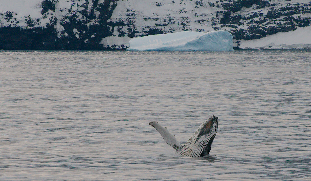 Wale kehren vermehrt nach Südgeorgien zurück