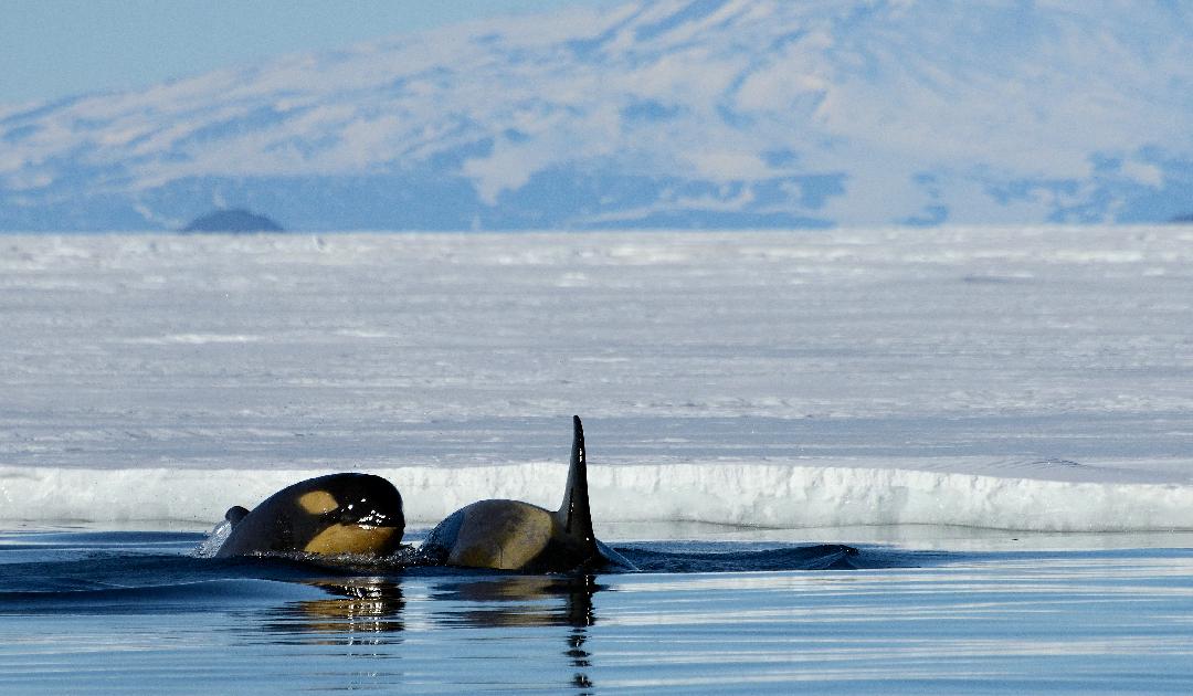 Wale wandern wegen Hautpflege statt Fortpflanzung
