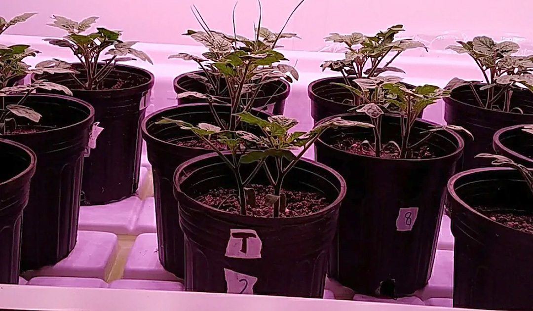 Test cultivation of space vegetables in Nunavut