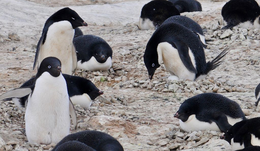 Einblick in das Leben von Adélie-Pinguinen