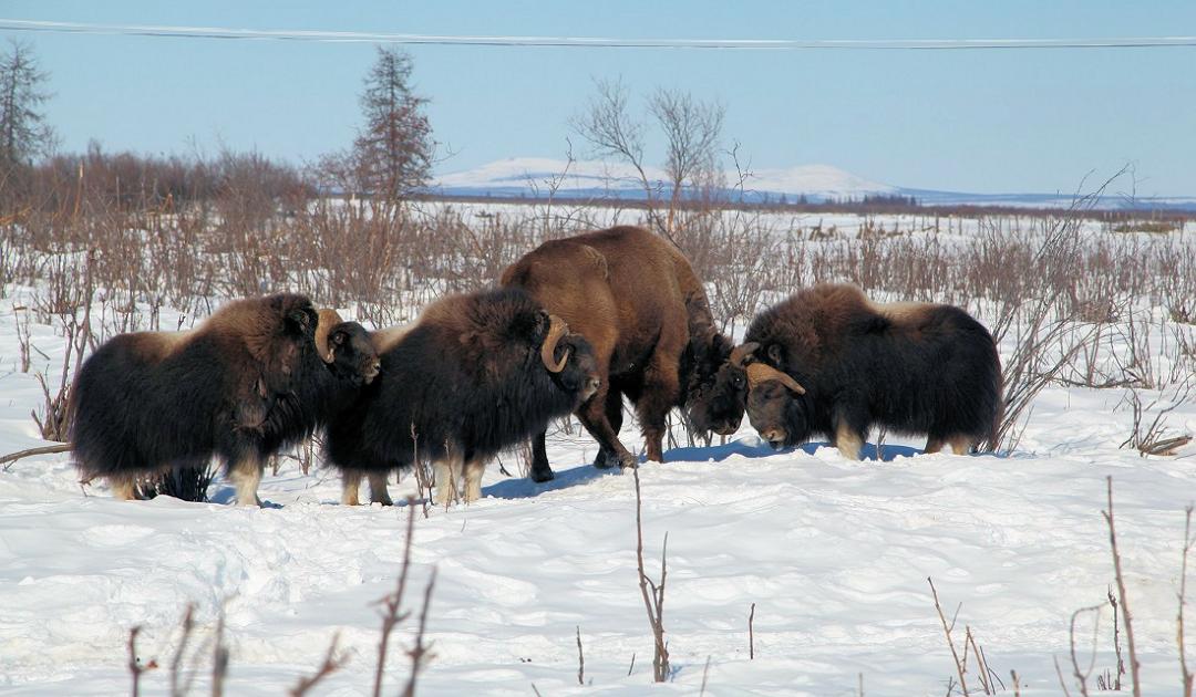 Pferde, Bisons und Moschusochsen sind gut für Permafrostböden