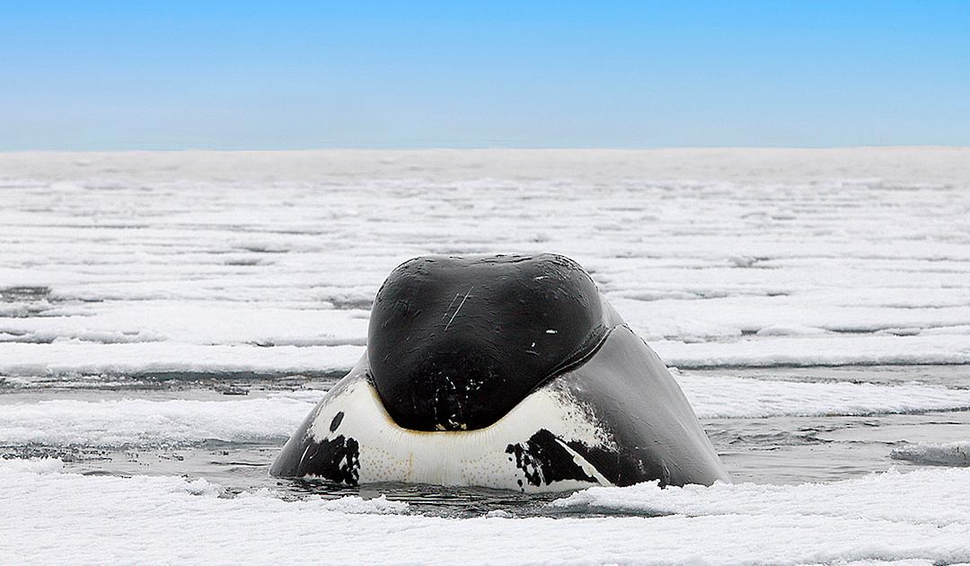 Grönlandwale wandern ins arktische Packeis aus Angst vor Orcas