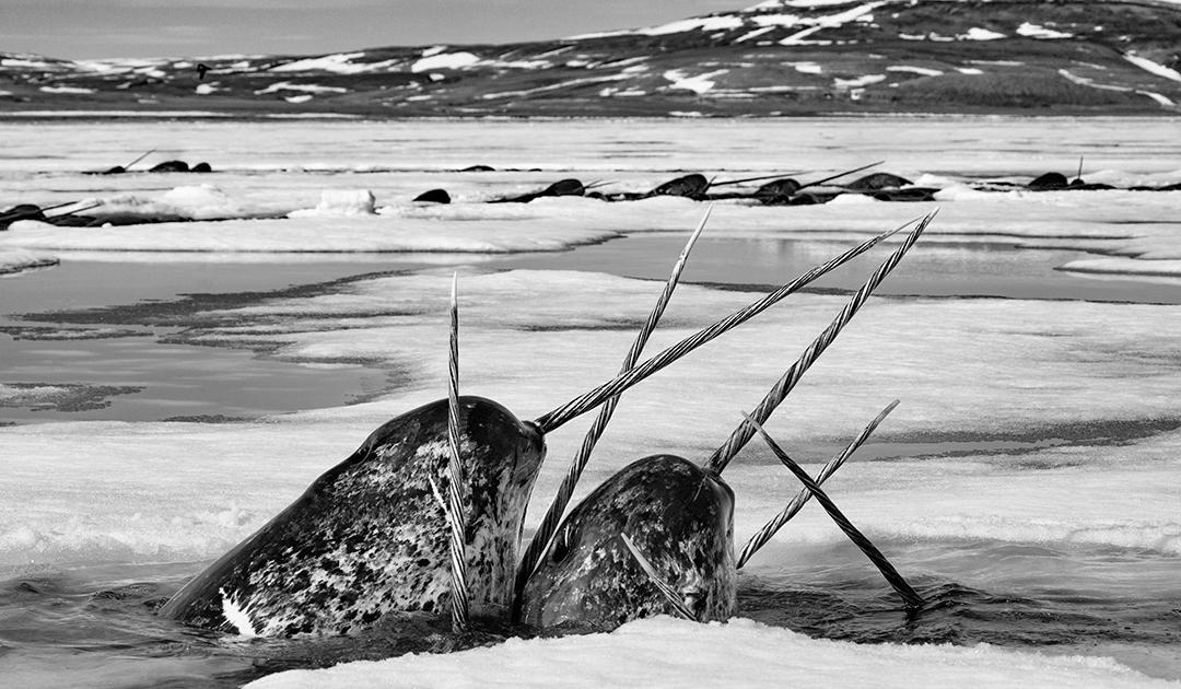 Stoßzahn der Narwale – auf die Größe kommt es an