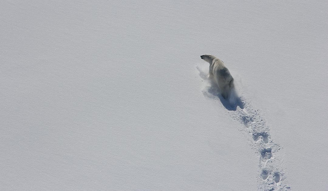 Warum Eisbären dünner werden und weniger Junge bekommen