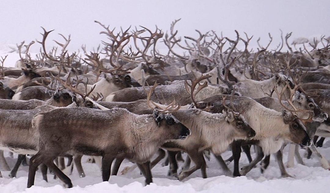 Ungewöhnliche Mengen Schnee bedrohen Rentiere