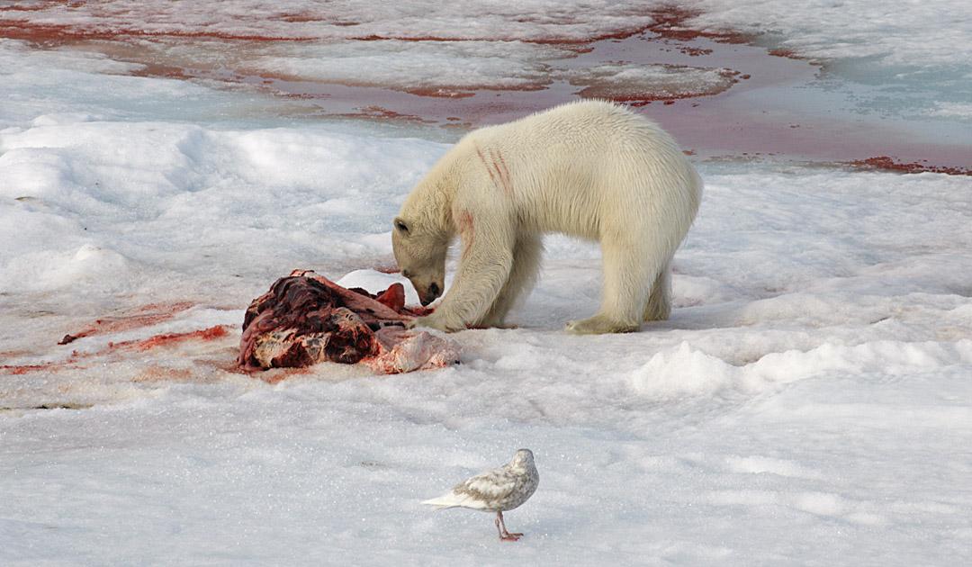 Kannibalismus unter Eisbären