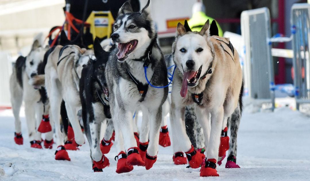 Keine Sieger bei Europas längstem Hundeschlittenrennen