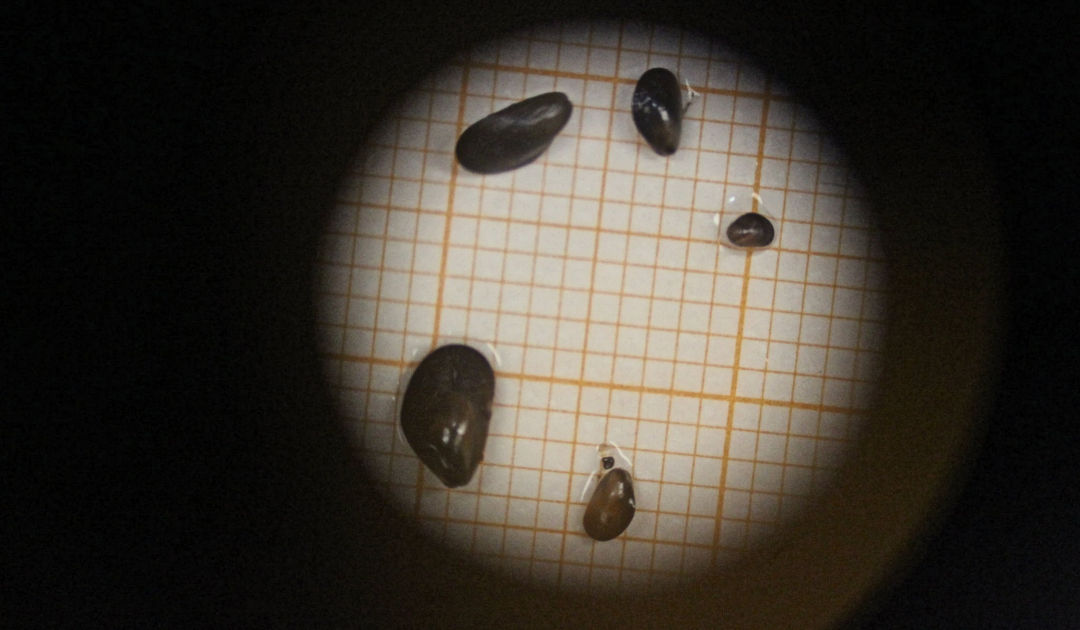 Miesmuscheln in antarktische Gewässer eingeschleppt