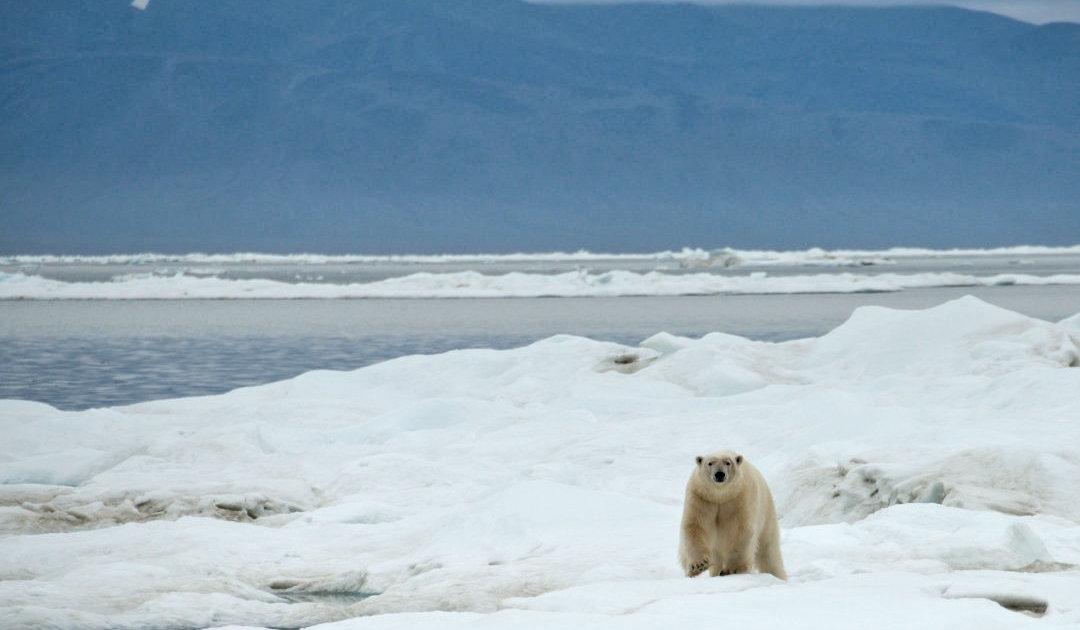 Eisbärensuche mit Hilfe von Drohnen auf Wrangel Island