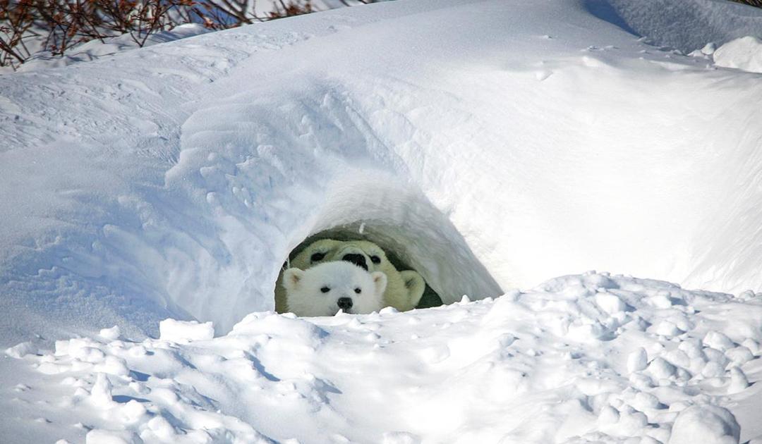 Wissenschaftler kartieren Eisbärenhöhlen in Kanada