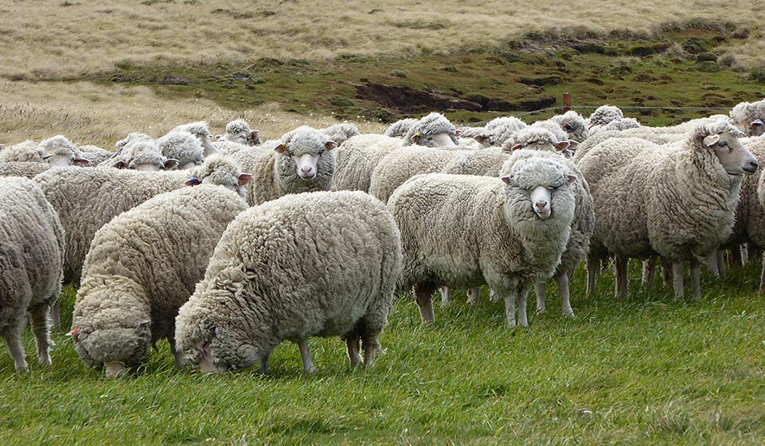 Wollpreise im Keller – Falklands Farmer unter Druck