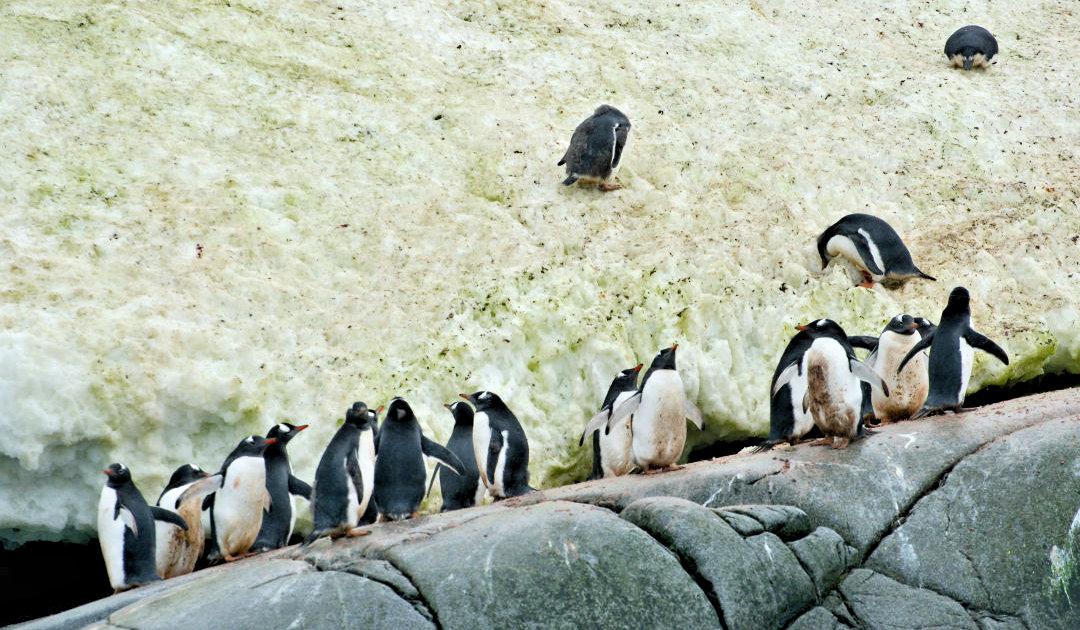 Grüner Schnee in der Antarktis könnte häufiger werden