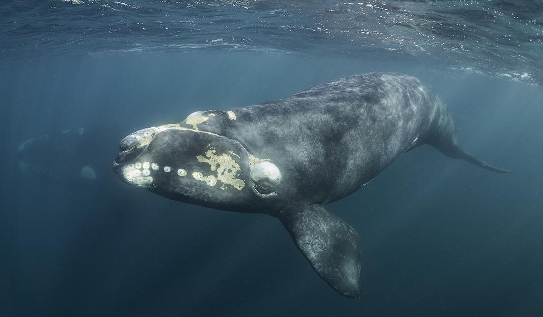 Wanderung der Südlichen Glattwale