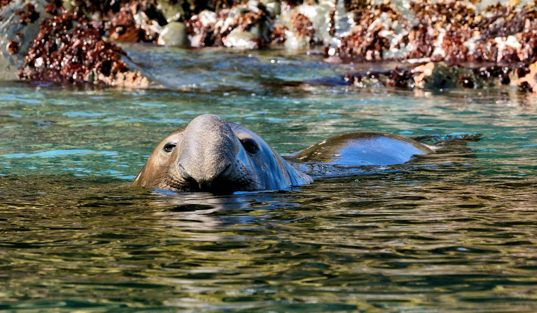 Robben und Roboter untersuchen antarktische Strömungen