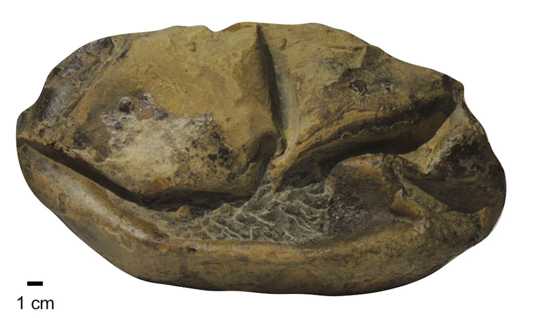 Antarktisches Dinosaurier-Ei eröffnet neue Erkenntnisse