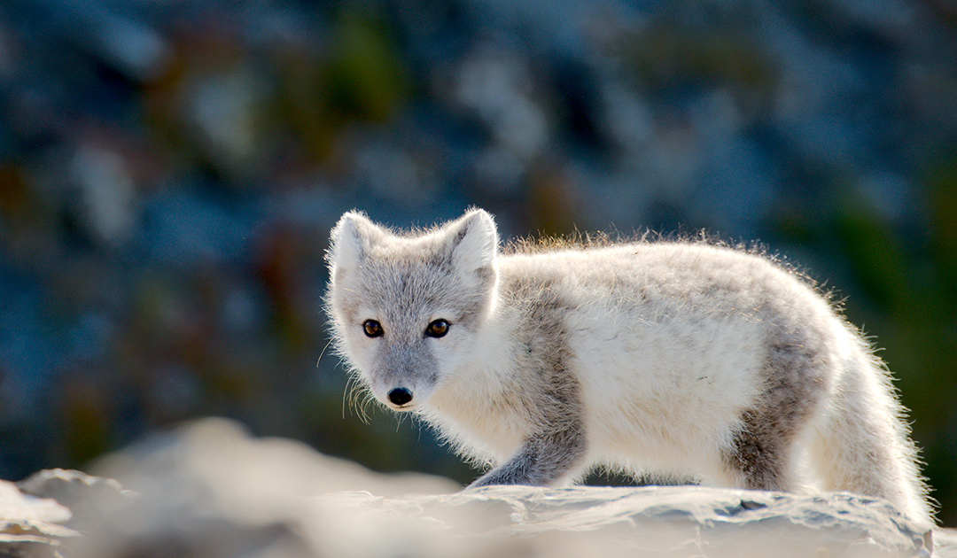 Polar fox threatens flight safety on Svalbard