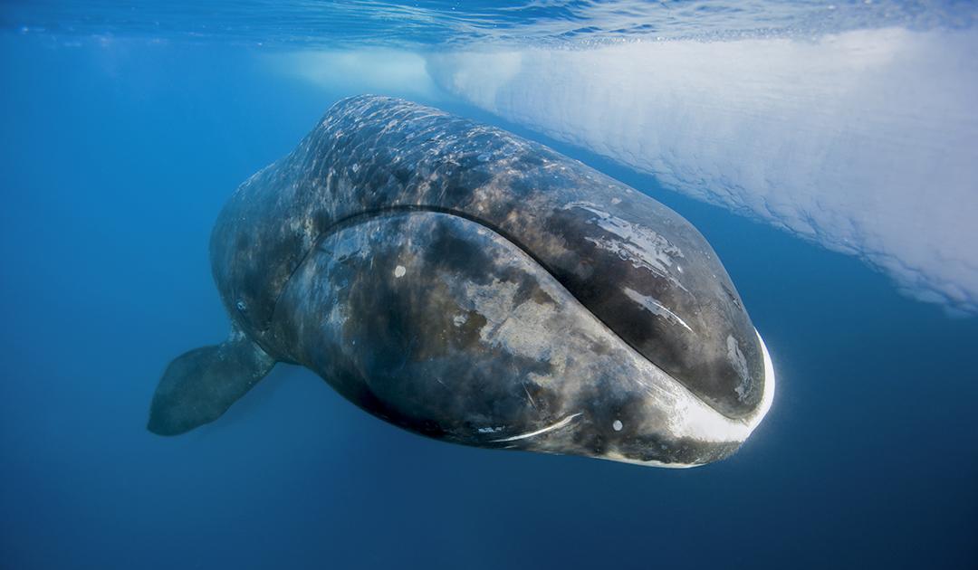 Spitzbergens Grönlandwale überwintern unter dem Eis