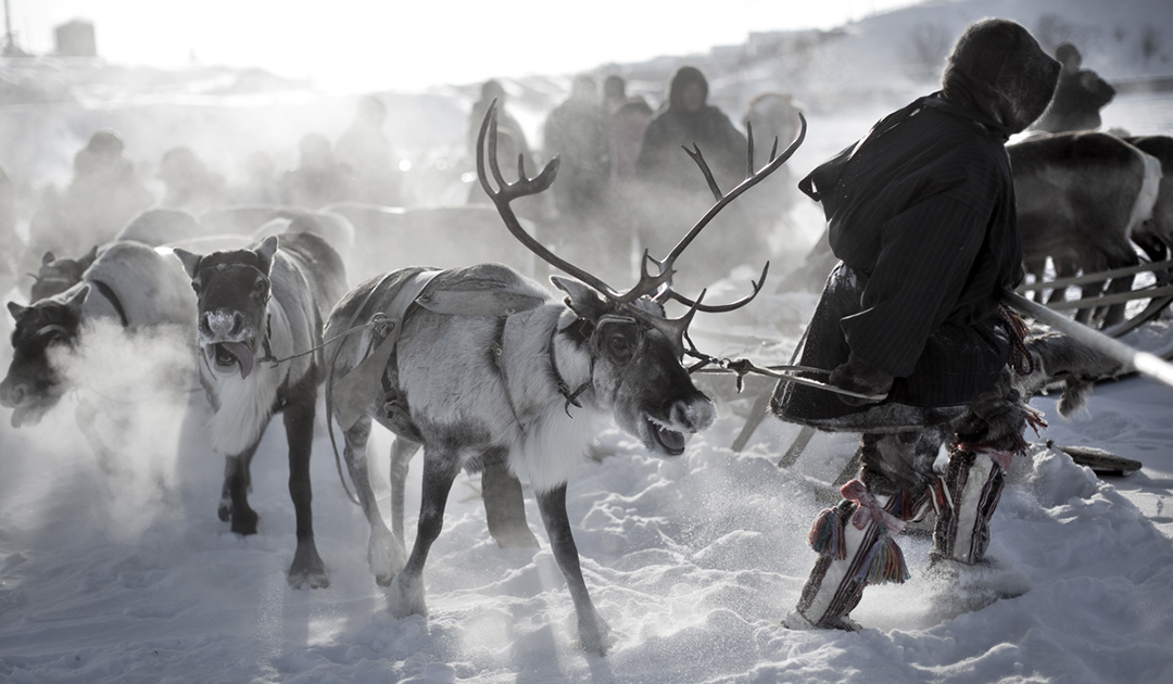 Impfung von 550.000 Rentieren in Sibirien