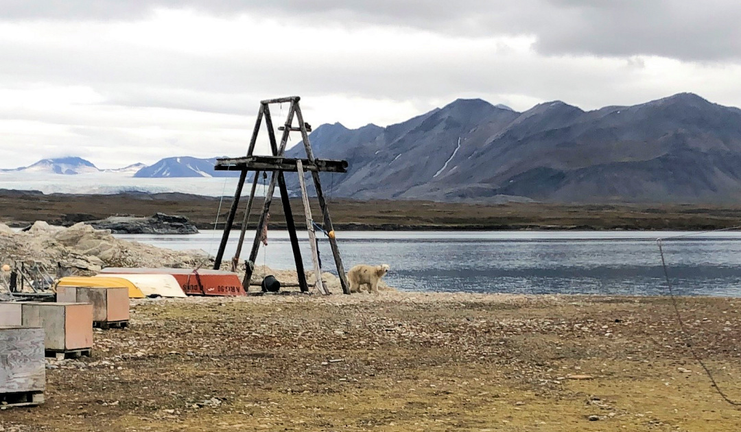 Very curious bear on Svalbard creates confusion