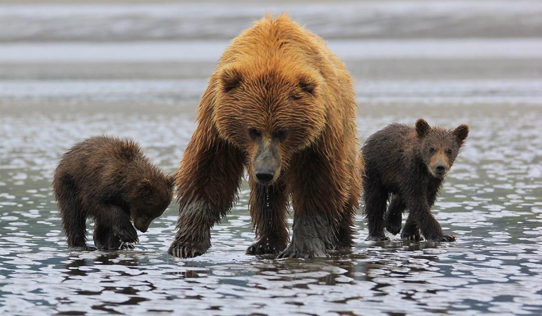 Brutale Jagdmethoden in Alaska wieder erlaubt