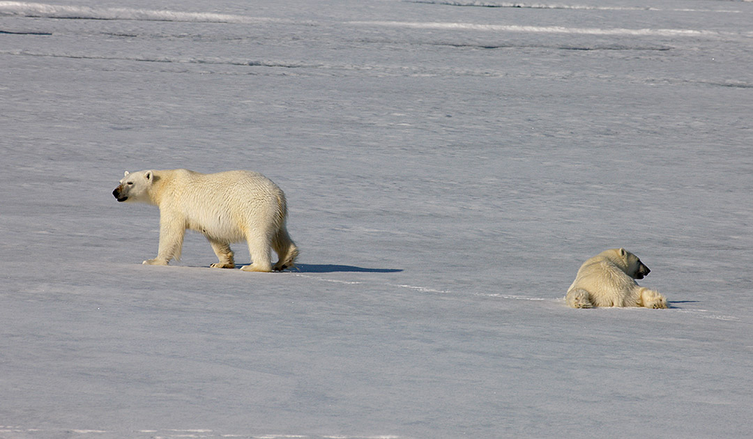 «Bear Island» – Naturschutzgebiet für Eisbären