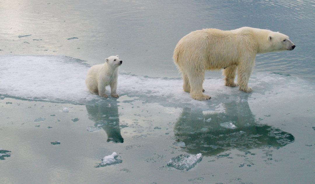 Gastartikel: Nicht ob, sondern wann – Eisbärenschwund bis in 80 Jahren