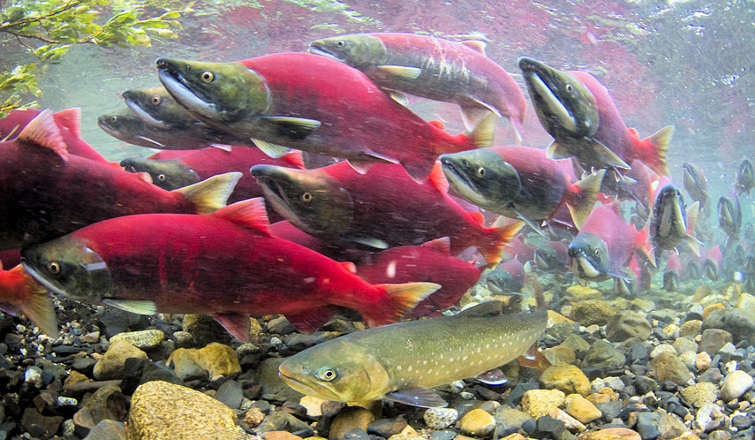Salmon in Alaskan rivers are shrinking