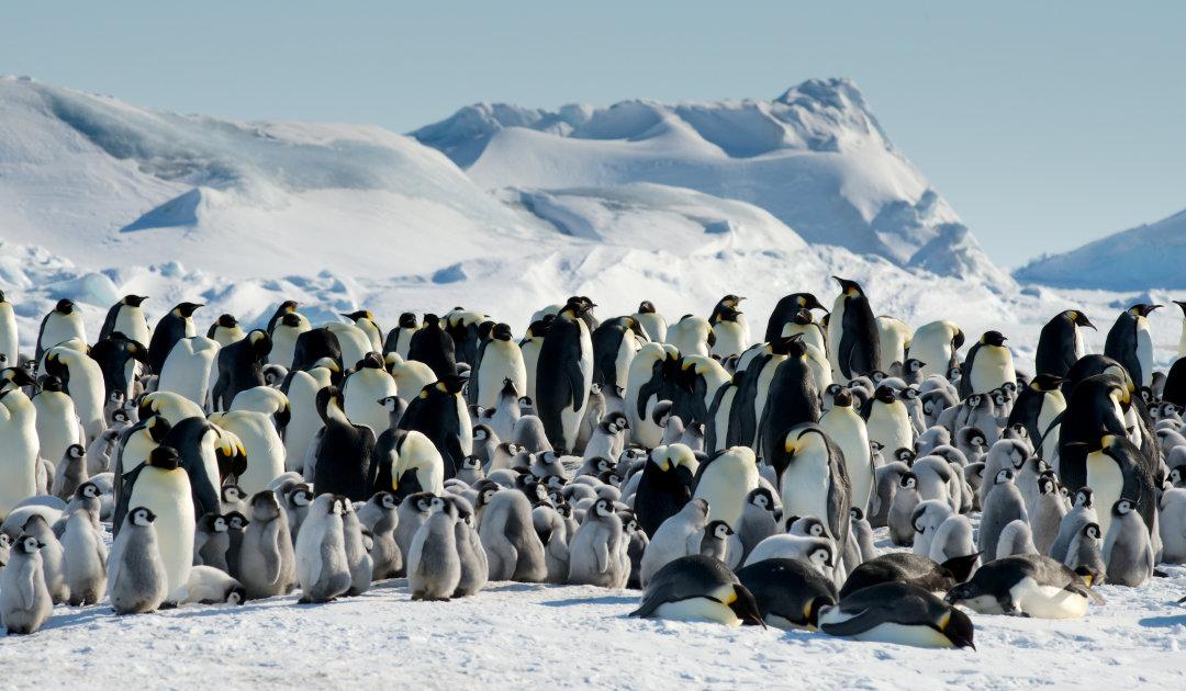 Neue Kaiserpinguinkolonien vom Weltall aus entdeckt